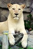 White Female Lion Royalty Free Stock Images