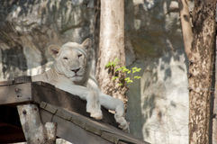 White female lion. Royalty Free Stock Photos