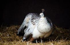 White female peahen Stock Photos