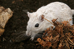 White female rodent outdoors Royalty Free Stock Photography