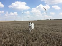 White female wolf running towards the camera on a harvested whea stock photo