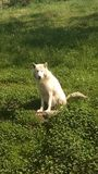 White Female wolf sitting in a grassy field royalty free stock image