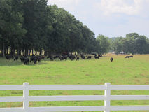 White fence with cattle Royalty Free Stock Image