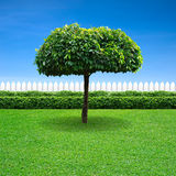 White fence and umbrella tree Stock Photos