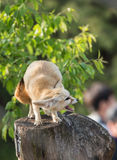 White Fennec fox or Desert fox with big ear Stock Image