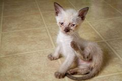 White Feral Kitten Scratching royalty free stock images