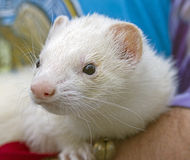 White Ferret Stock Photo