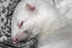White ferret albino sleeping on the bed stock image