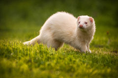 White ferret Royalty Free Stock Photo