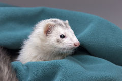 White ferret in green cloth. Royalty Free Stock Photos