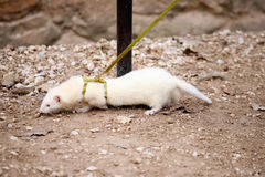 White ferret Royalty Free Stock Images