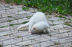 White ferret Royalty Free Stock Photography