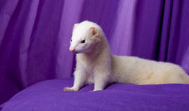 White Ferret Named Silver. While, silver male ferret with dark eyes and a perfect pink nose. Naturally posing on a purple pillow in front of a purple muslin Royalty Free Stock Photo