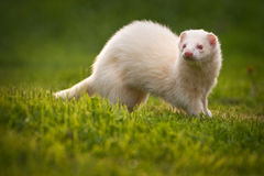 White Ferret Stock Image