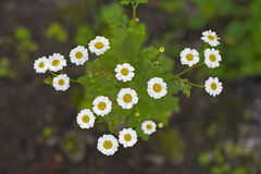 White feverfew flowers. Feverfew flowers or Bachelor`s Buttons, Featherfew, Featherfoil, Flirtwort. Tanacetum Parthenium, medicinal herb Royalty Free Stock Images