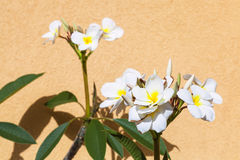 White ficus flowers near yellow plastered wall. In Giardini Naxos town, Sicily, Italy Royalty Free Stock Images