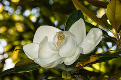 White ficus tree flower Royalty Free Stock Photo