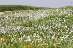 White field. Springs field small white flowers Royalty Free Stock Photo