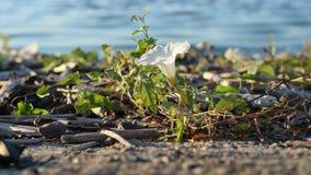 White field bindweed flower on shore near river. Beautiful white field bindweed flower on shore near river stock video