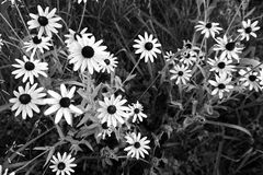 White daisies in a wild field in black and white style royalty free stock photo