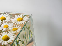 White field daisies floating in the water. Photo chamomile flowers in aquarium closeup on white background with shadow. Royalty Free Stock Photography