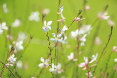 White field flowers Royalty Free Stock Photography