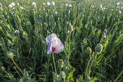 White Field Poppy Field Stock Images