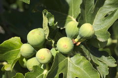 White Figs. Some white figs and leaves on summer Royalty Free Stock Image