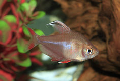 White Finned Rosey Tetra in an Aquarium Royalty Free Stock Image