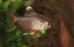 White Finned Rosy Tetra in an Aquarium Royalty Free Stock Photo