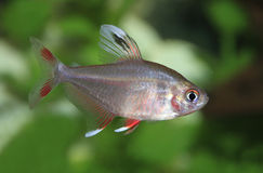 White Finned Rosy Tetra. Close Up of a White Finned Rosy Tetra Royalty Free Stock Image