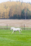 White Finnhorse Colt Stock Photo
