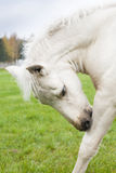 White Finnhorse Colt Royalty Free Stock Image