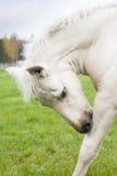 White Finnhorse Colt. White Finn horse colt on the pasture Royalty Free Stock Image