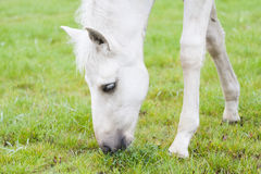 White Finnhorse Colt Royalty Free Stock Photos