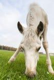 White Finnhorse Colt. White Finn horse colt on the pasture stock images