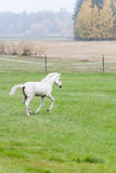 White Finnhorse Colt Stock Photos