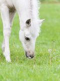 White Finnhorse Colt Royalty Free Stock Images