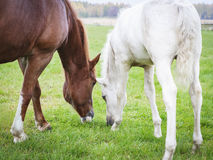 White Finnhorse Colt with the Mare. White Finn horse colt on the pasture with the mare royalty free stock photography