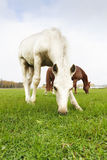 White Finnhorse Colt with the Mare. White Finn horse colt on the pasture with the mare stock photo