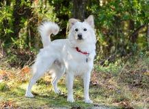 White Finnish Eskimo Spitz mixed breed dog Royalty Free Stock Photos