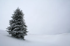 White fir tree Royalty Free Stock Images