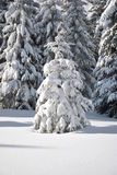 White fir tree. On white snow surface and fir forest in background Stock Image