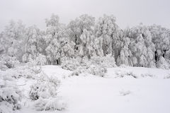 White fir in winter season. Group of white trees and vegetation in winter season Stock Photos