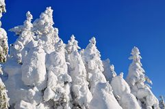 White firs from snow Stock Photos