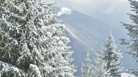 White firs in winter Royalty Free Stock Image