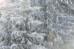 White firs in winter Stock Photography