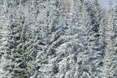 White firs in winter Stock Images