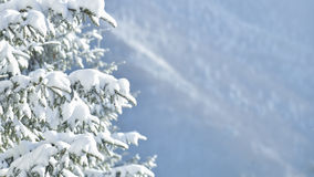 White firs in winter Royalty Free Stock Photography