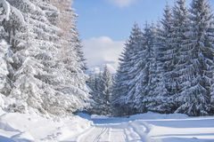 White firs in winter Stock Photo